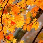 なぜ紅葉する?紅葉の種類と仕組み。日本の紅葉が世界一の理由。