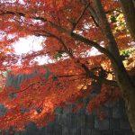 皇居の紅葉は東御苑雑木林や北の丸公園で。乾通りの混雑を避けるには