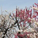 梅林(関東)のおすすめ一覧と観梅のコツ。関東地方の梅の見ごろ時期