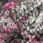 花梅の種類や実梅との違い。花色や開花時期など、梅の花の入門知識。