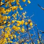 蝋梅(ロウバイ)の関東での名所4選。花と香りを楽しむ基礎知識。