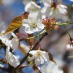 山桜の名所を自生地をメインに紹介。山桜の個性豊かな魅力とは。