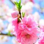 花桃(ハナモモ)の名所と種類。訪れたい「桃源郷」関東近県8選。