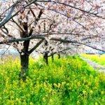 桜と菜の花の名所(関東近県)。春爛漫のコラボ風景を見にいくには?