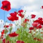 ポピーの花の種類と見頃時期。おすすめポピー花畑12選。