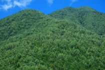 スギの人工林