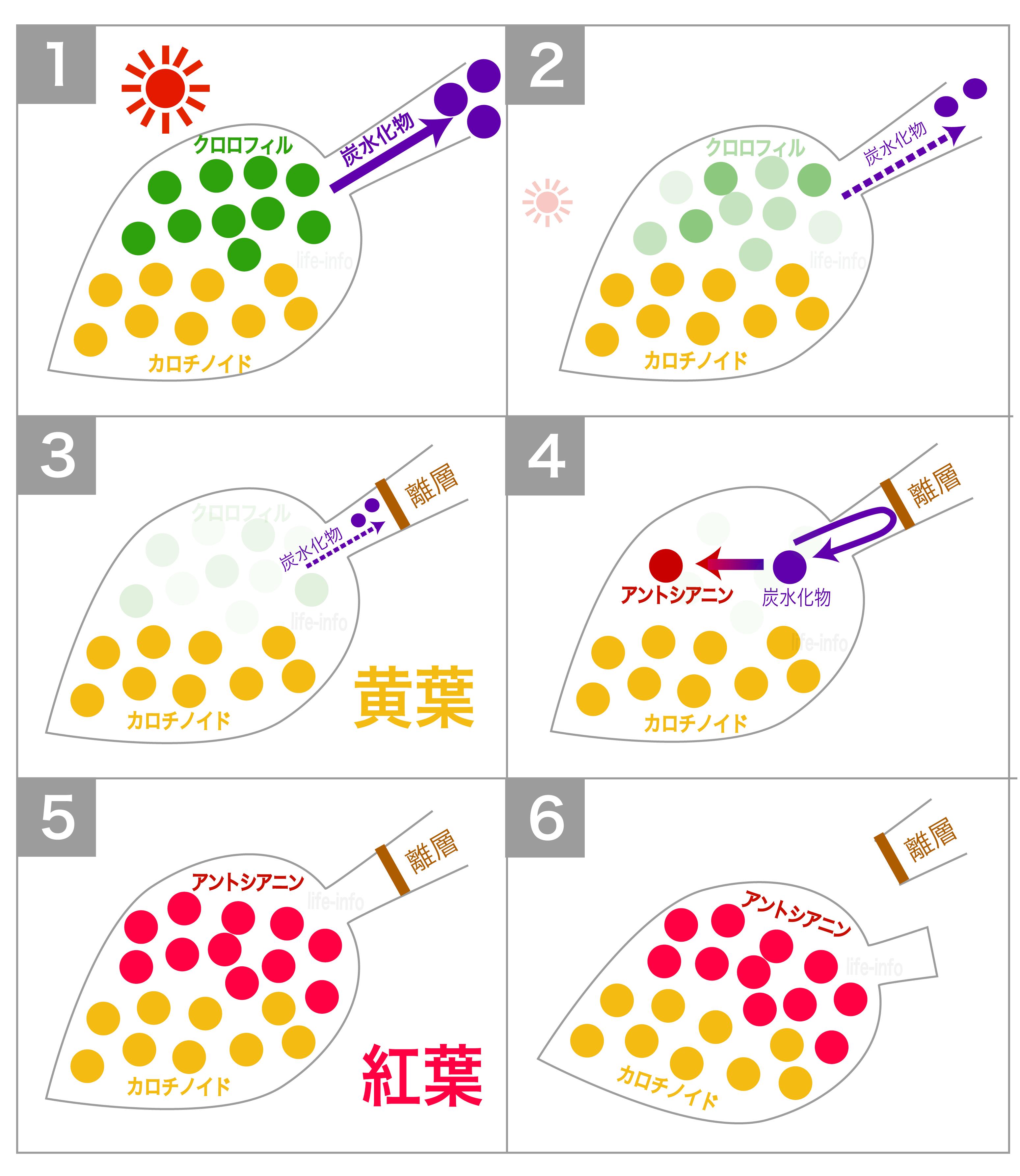 黄葉と紅葉の仕組み